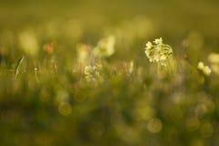 Los veris de la prímula de la primavera florecen descensos del tiro y de rocío Imágenes de archivo libres de regalías
