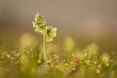 Los veris de la prímula de la primavera florecen descensos del tiro y de rocío Imagenes de archivo