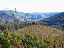 Los viñedos colgantes forman las laderas del ` s el Duero River Valley de Portugal fotografía de archivo