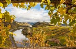 Los viñedos de oro del otoño de Mosela ajardinan la región Alemania del calmont imagen de archivo