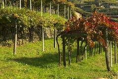 Los viñedos en el camino viejo llamaron vía Francigena Foto de archivo