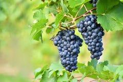 Los viñedos en la puesta del sol en otoño cosechan las uvas maduras Región del vino, Moravia meridional - República Checa Viñedo  fotografía de archivo libre de regalías