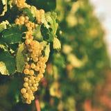 Los viñedos en la puesta del sol en otoño cosechan las uvas maduras Región del vino, Moravia meridional - República Checa Viñedo  imagenes de archivo