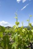 Los viñedos en Toscana, Italia Imagen de archivo