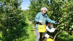 Los viajeros jovenes escogen cerezas frescas del árbol durante día de fiesta de trabajo fotos de archivo