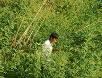 Los vietnamitas que la selección dien dien la flor, Sesbania sesban Imágenes de archivo libres de regalías