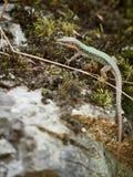 Los viridis del Lacerta del lagarto se sientan en una piedra con el musgo fotografía de archivo libre de regalías