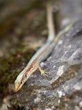 Los viridis del Lacerta del lagarto se sientan en una piedra foto de archivo