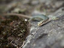 Los viridis del Lacerta del lagarto se sientan en una piedra imágenes de archivo libres de regalías
