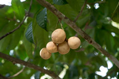 Los von Longkong auf dem Baum - thailändische Frucht Lizenzfreie Stockbilder