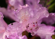 Los waterdrops en la flor del rododendro Imagen de archivo