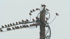 Los waxwings de los pájaros se sientan en líneas eléctricas en tiempo nevoso nublado almacen de metraje de vídeo