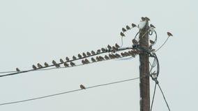 Los waxwings de los pájaros se sientan en líneas eléctricas en tiempo nevoso nublado metrajes