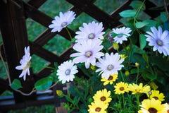 Los wildflowers abiertos perezosos a lo largo de la cerca stock de ilustración