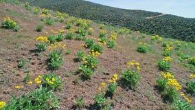 Los wildflowers amarillos famosos de Idaho florecen en el tiempo de primavera almacen de video