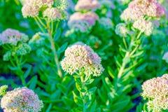 Los wildflowers blancos hermosos se cierran para arriba fotos de archivo
