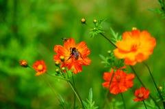 Los Wildflowers en la brisa con manosean la abeja Fotografía de archivo libre de regalías