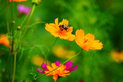 Los Wildflowers en la brisa con manosean la abeja Imágenes de archivo libres de regalías