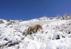 Los yacs con nieve en el paisaje redondo en Annapurna circulan, trekk Fotos de archivo libres de regalías