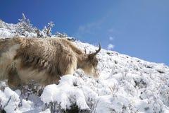 Los yacs con nieve en el paisaje redondo en Annapurna circulan, trekk Foto de archivo