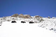 Los yacs con nieve en el paisaje redondo en Annapurna circulan, trekk Foto de archivo libre de regalías