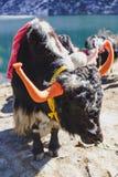 Los yacs negros tibetanos de la cabeza del color y de la piel del cuerpo con la silla de montar para el paseo se colocan en el ca Imagenes de archivo