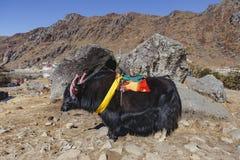 Los yacs negros tibetanos de la cabeza del color y de la piel del cuerpo con la silla de montar para el paseo se colocan en la ar Foto de archivo libre de regalías