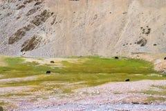 Los yacs salvajes pastan en las montañas por el río fotografía de archivo