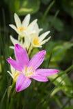 Los zephyranthes rosados florecen, cierre del lirio de la lluvia para arriba imagenes de archivo