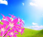 Los zephyranthes rosados florecen y cielo azul y sol Imagen de archivo libre de regalías