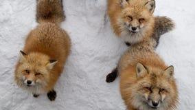 Los zorros de Brown esperaban piden la comida Fotografía de archivo libre de regalías