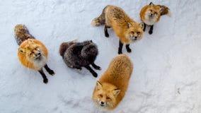 Los zorros de Brown esperaban piden la comida Foto de archivo libre de regalías