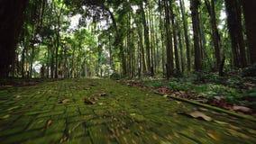 Losas demasiado grandes para su edad con el musgo Paseo a trav?s de la trayectoria de la selva tropical metrajes