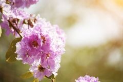 Lose-up Pride of india flowers Lagerstroemia speciosa. Close-up Pride of india flowers Lagerstroemia speciosa are blooming in a garden.Beautiful sweet pink royalty free stock images
