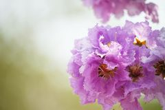 Lose-up Pride of india flowers Lagerstroemia speciosa. Close-up Pride of india flowers Lagerstroemia speciosa are blooming in a garden.Beautiful sweet pink stock photo