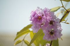 Lose-up Pride of india flowers Lagerstroemia speciosa. Close-up Pride of india flowers Lagerstroemia speciosa are blooming in a garden.Beautiful sweet pink stock image