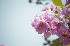 Lose-up Pride of india flowers Lagerstroemia speciosa. Close-up Pride of india flowers Lagerstroemia speciosa are blooming in a garden.Beautiful sweet pink royalty free stock photo