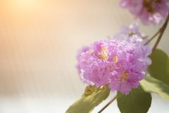 Lose-up Pride of india flowers Lagerstroemia speciosa. Close-up Pride of india flowers Lagerstroemia speciosa are blooming in a garden.Beautiful sweet pink stock photos