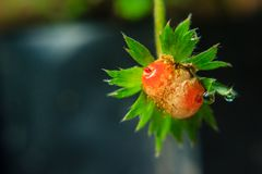 Close-up of strawberry diseased. Lose-up of strawberry diseased in the garden Royalty Free Stock Photography
