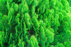 Lose up texture of small green leaves Chinese Arborvitae or Orientali Arborvitae Stock Photos