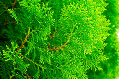 Lose up texture of small green leaves Chinese Arborvitae or Orientali Arborvitae Stock Image