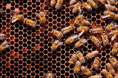 Сlose up view of the working bees on honeycomb. Royalty Free Stock Photo