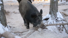 Сlose-up of wild boars in the winter forest stock video