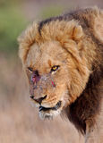 The loser. Old male lion retreats from battle wounded Stock Image