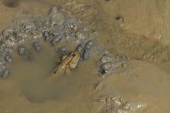 Loseup de Mudskipper Fotografía de archivo libre de regalías