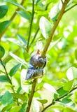 Loseup del injerto en rama de árbol de cal Fotografía de archivo libre de regalías