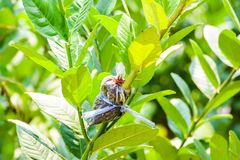 Loseup of graft on lime tree branch Royalty Free Stock Images