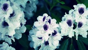 ? loseup per dentellare i fiori del rhoddnendron archivi video