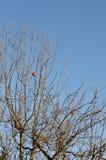 Losgetornde overrijpe appelen op boom Stock Foto