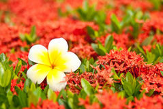 Loss Leelawadee on blur red flower. Khem daeng flower can grow any where in Thailand Royalty Free Stock Photo
